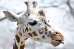 Giraffe with Tongue Out Royalty Free Stock Photo