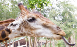 Giraffe with tongue out Royalty Free Stock Photography