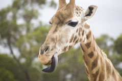 Giraffe with tongue out. Close up of a giraffe with tongue out Royalty Free Stock Photography
