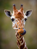 Giraffe Tongue Out Portrait Stock Photography