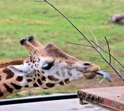 Giraffe with tongue outside Royalty Free Stock Photo