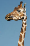 Giraffe tongue Stock Images