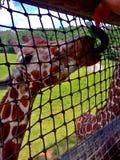 Giraffe Tounge Stockfoto