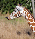 Giraffe toungue. A giraffes head, some neck with his tongue sticking out stock photo