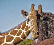 Giraffe with tongue sticking out. Giraffe with toungue sticking out with a blue sky Stock Image