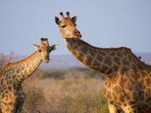 Giraffe. A tower of Giraffe framed against blue sky. Madikwe Game Reserve, South Africa royalty free stock image