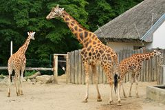 Giraffe três no JARDIM ZOOLÓGICO Fotos de Stock Royalty Free