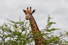 Giraffe and tree Stock Photography