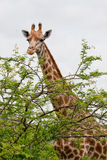 Giraffe and tree Stock Image