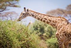 Giraffe and a tree royalty free stock photo