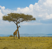 Giraffe and a tree stock image