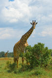Giraffe and a tree Stock Images