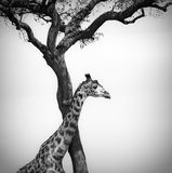 Giraffe and a tree stock photography