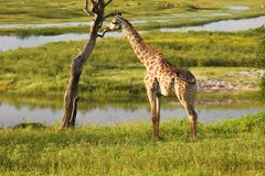 Giraffe by a tree Royalty Free Stock Photography