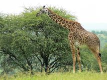 Giraffe by a tree Royalty Free Stock Image