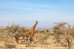 Giraffe in tree grove Royalty Free Stock Image