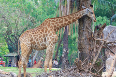 Giraffe and tree Stock Photo