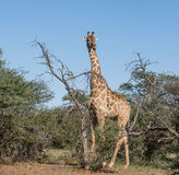 Giraffe With Tree Royalty Free Stock Photos