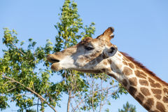 Giraffe on the tree and sky background Royalty Free Stock Image