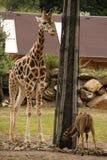 Giraffe by the tree Royalty Free Stock Photos