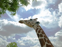 Giraffe & trees. Photo of a giraffe preparing to feed on a tree with a cloudy sky background Stock Photo