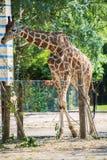 Giraffe between trees Royalty Free Stock Photo