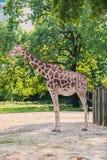 Giraffe between trees Stock Photos