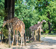 Giraffe between trees Stock Image