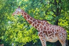 Giraffe between trees on bright day Stock Photos