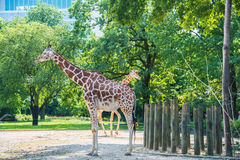 Giraffe between trees on bright day Stock Images