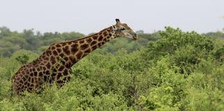 Giraffe in the trees Stock Photos