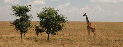 Giraffe And Trees In The Savannah. Giraffe and two trees in the Serengeti reserve, Tanzania, Africa Royalty Free Stock Photo