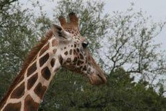 Giraffe. A giraffe tries to avoid the camera stock photos
