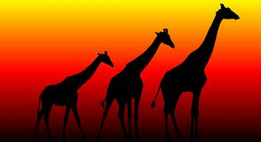 Giraffe Trio. Giraffe Silhouettes against an orange, red and yellow background Royalty Free Stock Photos
