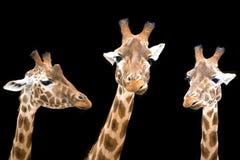Giraffe trio Stock Image