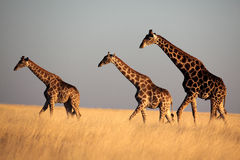 Giraffe Trio In Late Afternoon Light Stock Photos