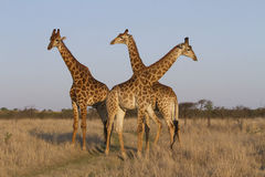 Giraffe Trio Stock Images