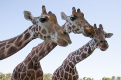 Giraffe Triplets Stock Photo