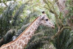 Giraffe in Tropical Zoo Stock Images