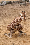 Giraffe trying to sit down Stock Image