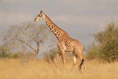 Giraffe. Tsavo West giraffe Stock Photos