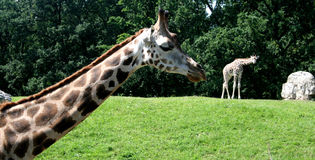Giraffe. Two giraffes strolling the savannah royalty free stock photography