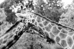Giraffe two head and neck BW Stock Photography
