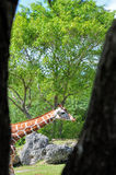 Giraffe Between Two Trees Stock Photography