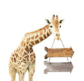 Giraffe with two wooden arrows Stock Photo