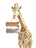 Giraffe with two wooden arrows Royalty Free Stock Photography