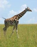 Giraffe in Uganda Stock Image