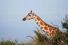Giraffe, Uganda, Africa Stock Image