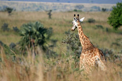 Giraffe, Uganda, Africa Stock Photos