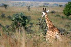 Giraffe, Uganda, Africa Stock Photos